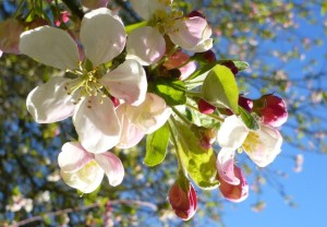 Four Fires Crab Apple blossom (2)